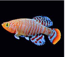 Ikan Hias Air Tawar Terindah killfish jantan