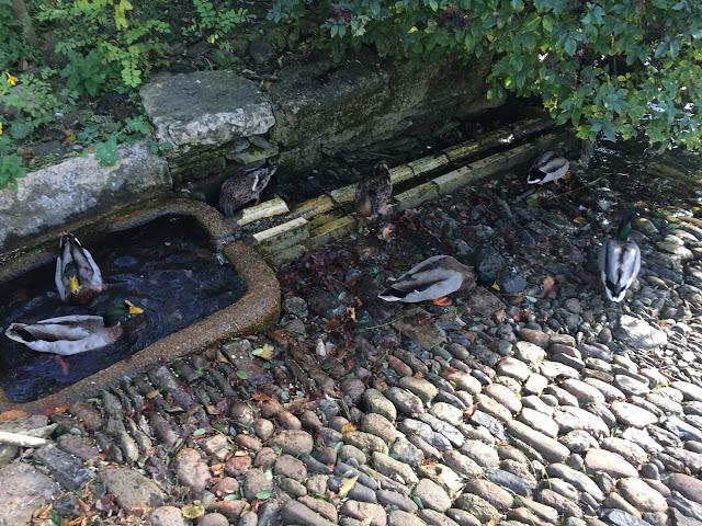 Ducks at Saltram House
