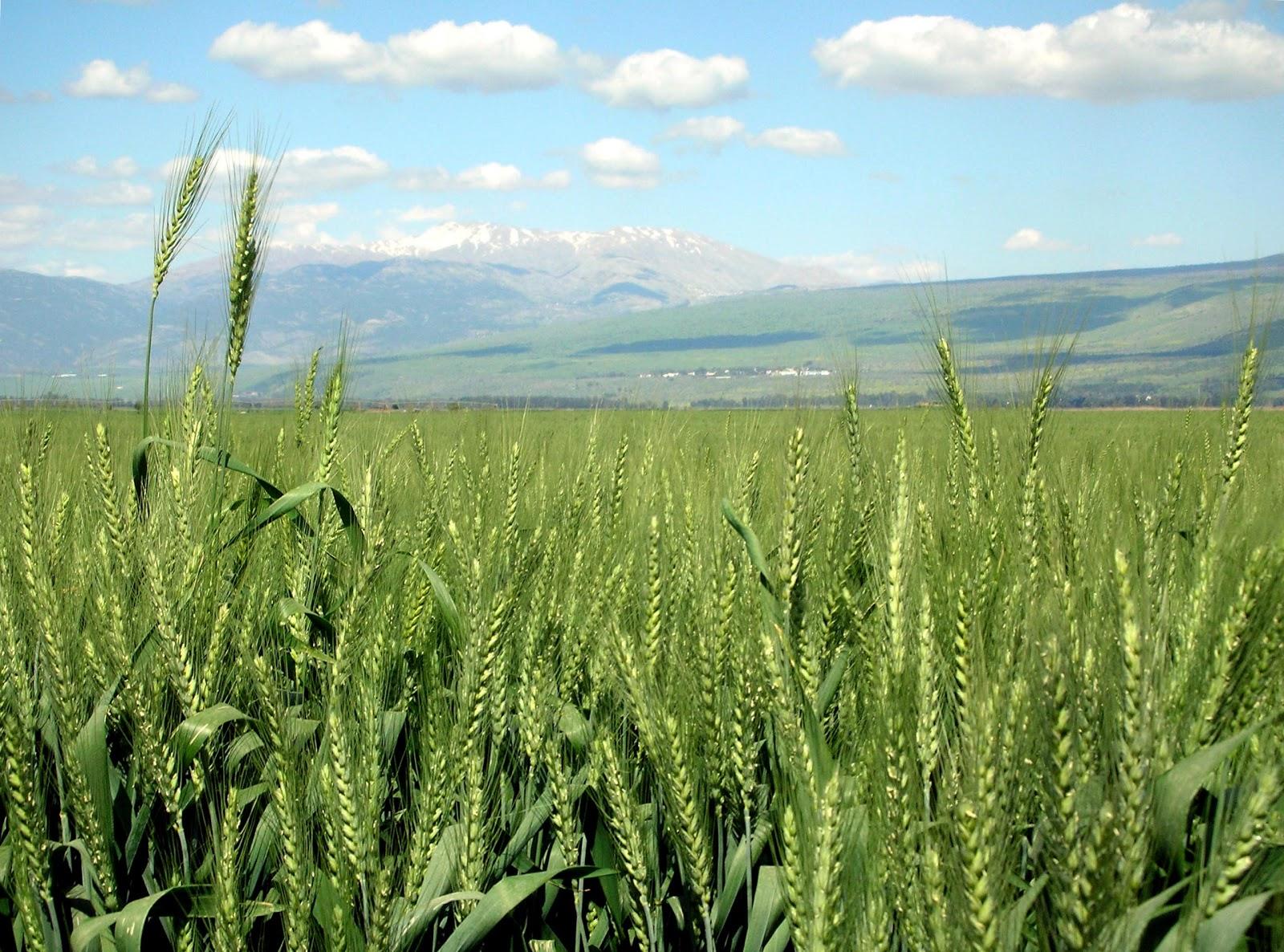 The Scientist Gardener: Spring vs. Winter Wheat
