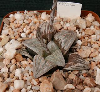 Haworthia maraisii aff - M080328 GM 401 N of Napier