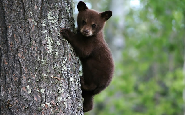 A bear in a tree