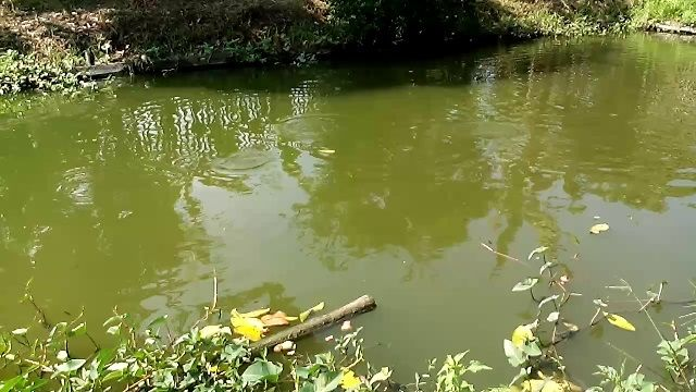 Peluang Usaha Budidaya Ikan Patin