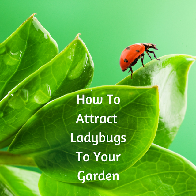 Instructions on How To Attract Ladybugs To Your Garden