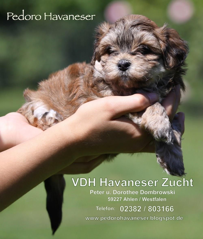 Havaneser VDH Welpen Hundezucht in NRW - PEDORO HAVANESER