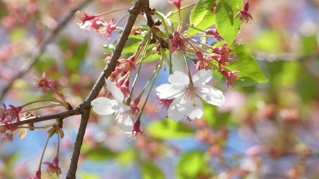 Fränkische Schweiz - Apfelblüte bei Plankenfels