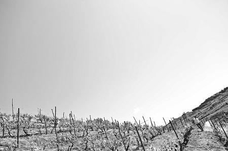 vigne vecchie