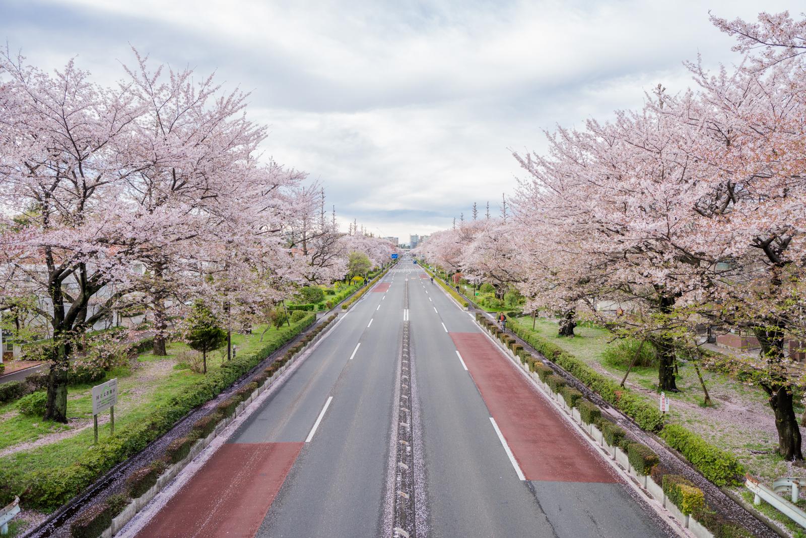 国立市大学通りの桜の写真