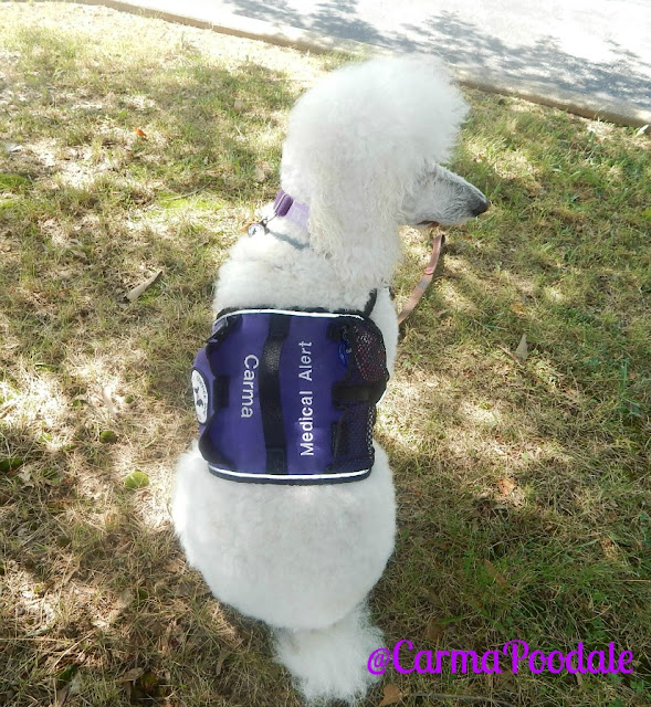 Medical-Alert-Service-Dog-Poodle-CarmaPoodale
