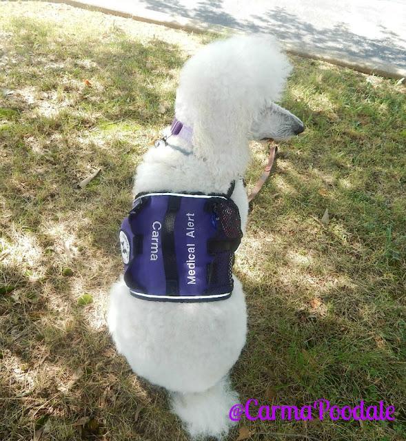 Medical-Alert-Service-Dog-Poodle-CarmaPoodale