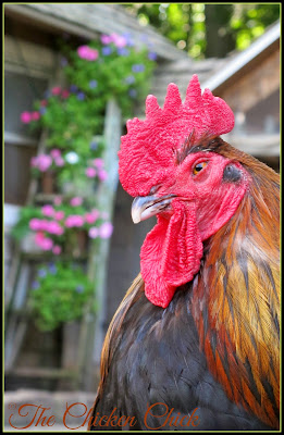 Blaze, my Black Copper Marans rooster