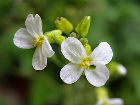 Rabaniza blanca (Diplotaxis erucoides)flor blanca