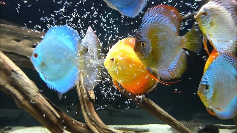 cara membedakan ikan discus jantan dan betina