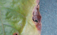http://sciencythoughts.blogspot.co.uk/2013/10/two-new-species-of-amphisphaerid-fungi.html