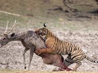Perlawanan Dramatis Rusa Saat Diterkam Harimau