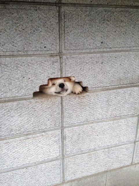 Chú chó Akita cố chui đầu vào lỗ hổng tường để chào người qua lại