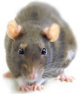 Todo sobre las ratas - Toda la información