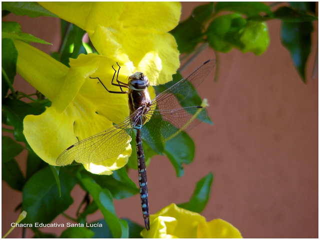 Aguacil o libélula - Chacra Educativa Santa Lucía