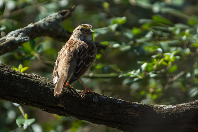 Sparrow, Colleyville Nature Center