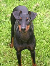 Manchester Terrier dog aggressive look