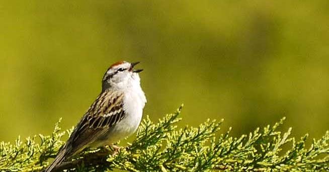 Download Suara Burung Kenari Mp3 untuk Masteran Lengkap