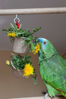 Can Parrots eat Dandelions