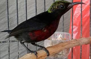 kolibri ninja jantan