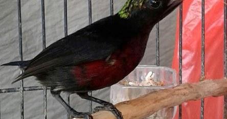 Ciri Ciri Burung Kolibri Ninja Jantan