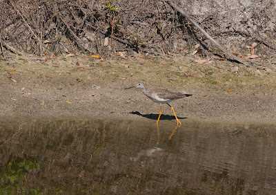 A wood sandpiper with long think legs at the edge of a pond in Cypress Lakes resort, Florida.