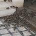 "Lassa fever: Ondo launches operation ""kill all rats, live in hygienic environment"