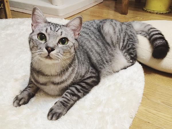 丸くて大きな目でこっちを見ているサバトラ猫
