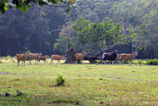 Satwa Banteng di Padang Rumput Cidaon – Ujung Kulon