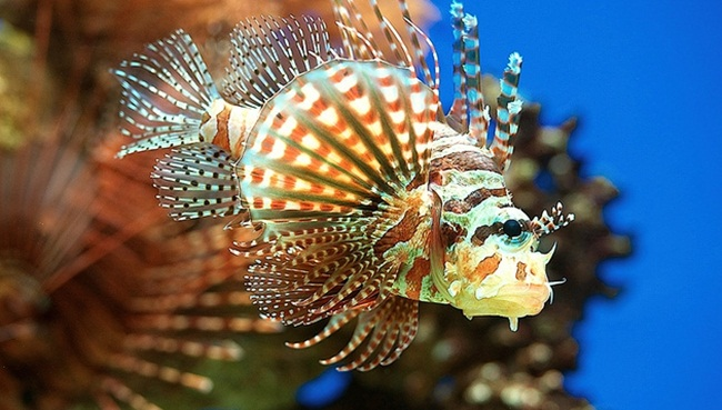 Pterois Fish