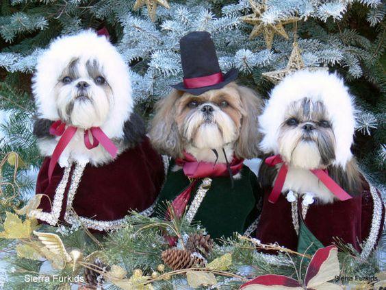 Fofura natalina - Fotos de shih tzu vestidos para o Natal