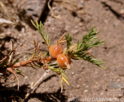 flor de la estepa Margyricarpus pinnatus