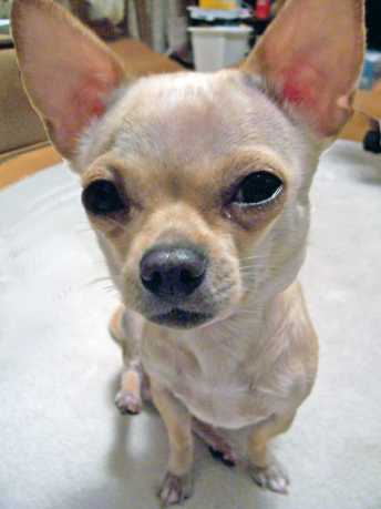 Funny Chihuahua Pictures
