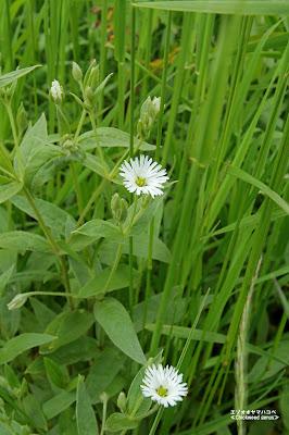 エゾオオヤマハコベ ≪Chickweed genus≫