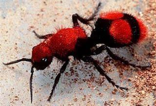 Como as fêmeas não têm asas, elas se assemelham à formigas de tamanhos que vão de 5 a 50mm, com algumas podendo ser maiores que uma moeda grande. Sua coloração chamativa é um alerta para afastar possíveis predadores.