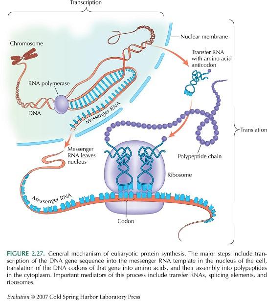 果凍2020藝術文化讀書會 Jelly Reading Club: 傳遞RNA攜帶合成蛋白質所需的胺基酸到核醣體Transfer RNA Carries Amino Acids ...