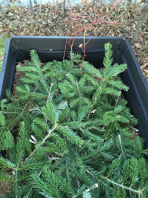 Gjenbruk av juletreet - Edelgran rundt blåbærbuskene