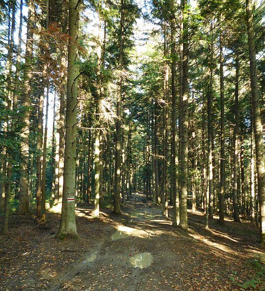 Las na Sularzowej.