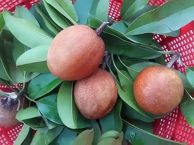 サポジラ  ベトナムの果物 Hồng xiêm(ホンシェン)
