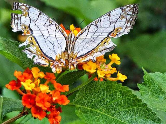 Cyrestis thyodamas, butterfly, flowers