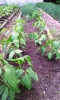 cultivo-habichuelas-manati