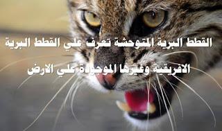 القطط البرية المتوحشة تعرف علي القطط البرية الافريقية وغيرها الموجودة علي الارض