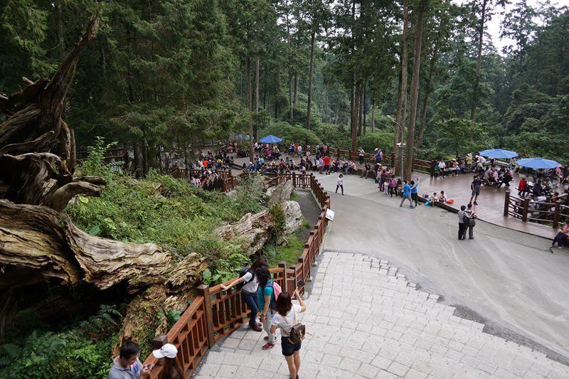 溪頭神木觀景台