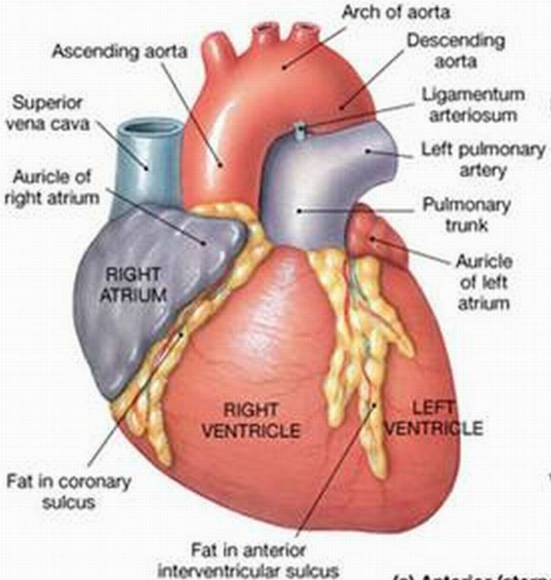 Interior Heart Diagram Vz Wiring Exterior The Great Installation Of Biology Diagrams Images Pictures Human Anatomy And Physiology Rh Blogspot Com