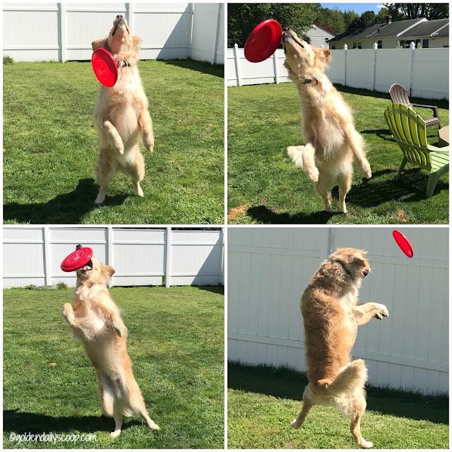 golden retriever playing frisbee