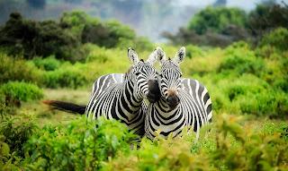 zebras in green jungle