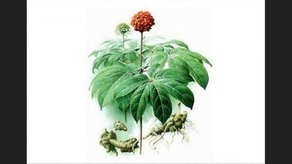Nấm linh chi và hoa tam thất- sự kết hợp hoàn hảo