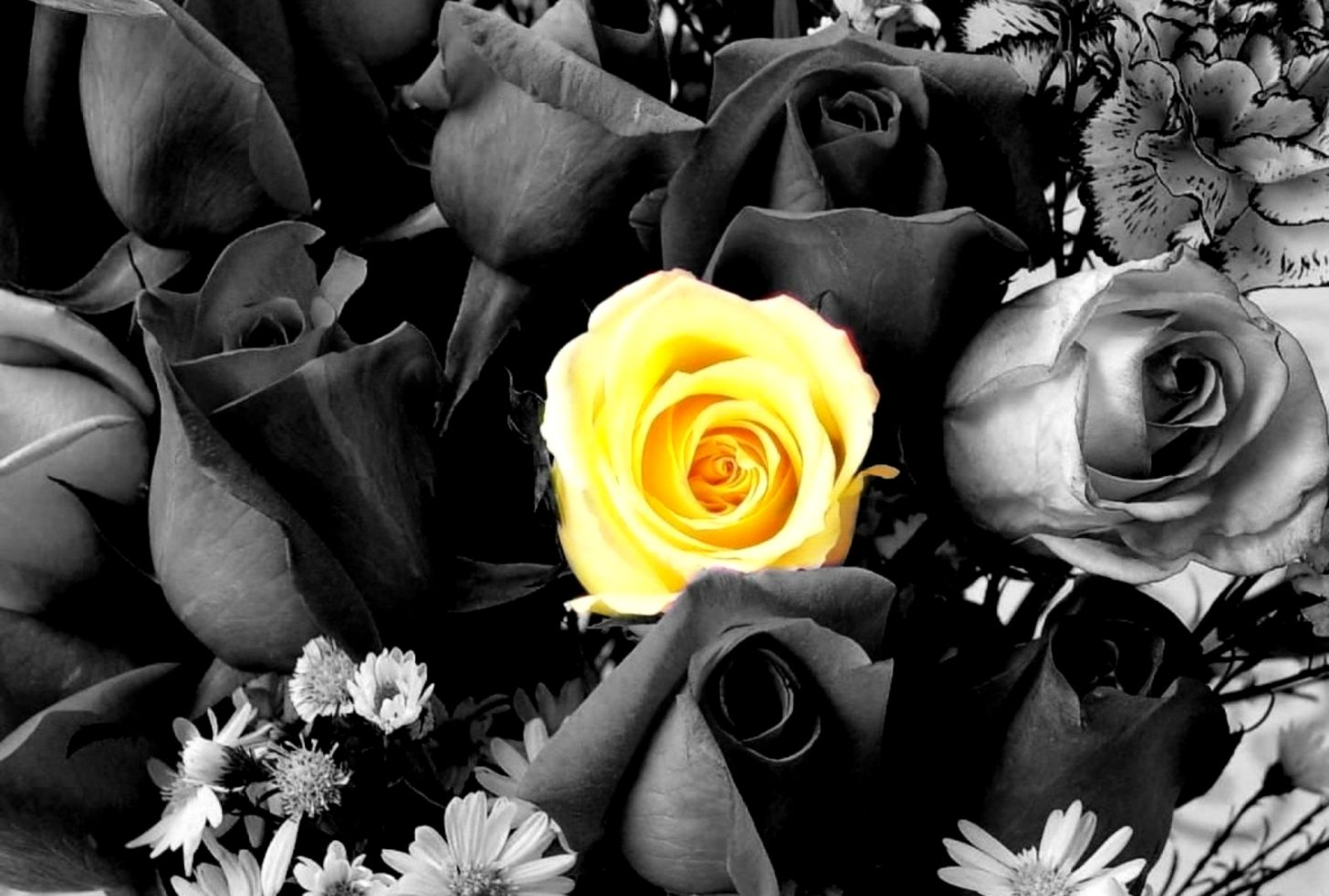 Flowers Nature Black White Color Yellow Roses Desktop